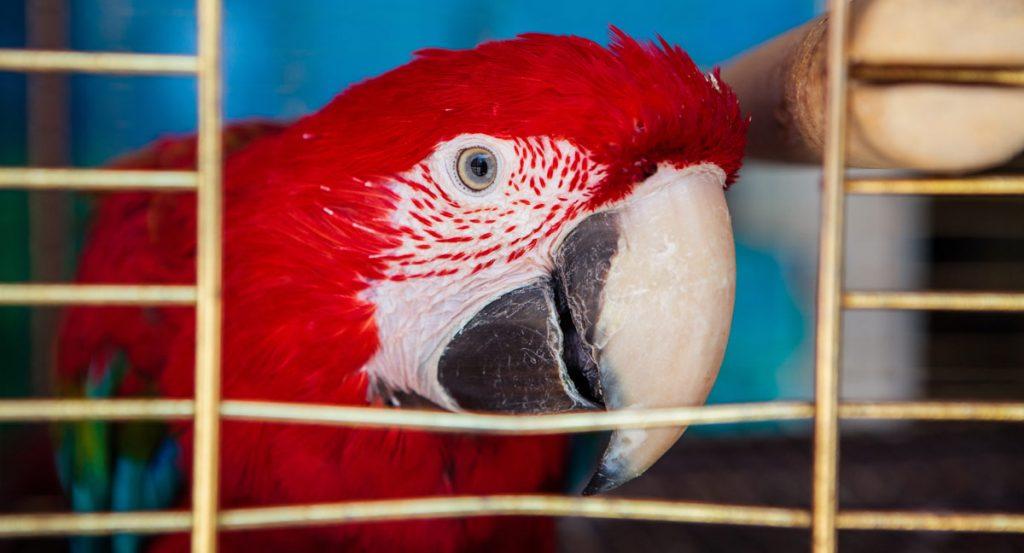 bird theft scarlet macaw