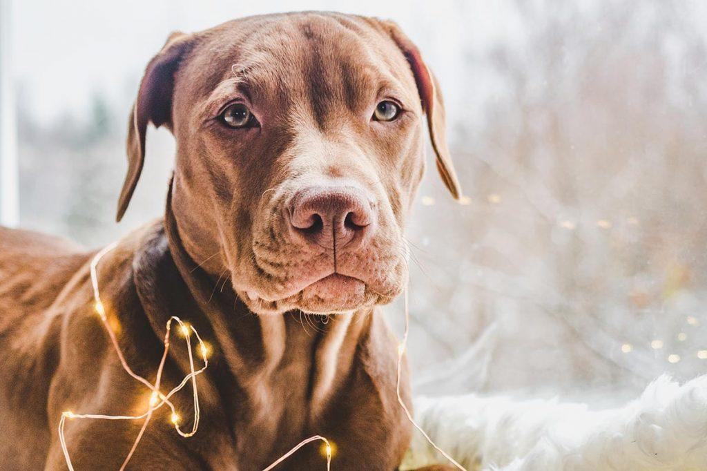 Pitbull with christmas lights